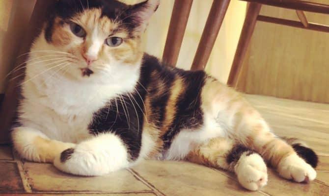 ぽちゃ猫チーかあさん