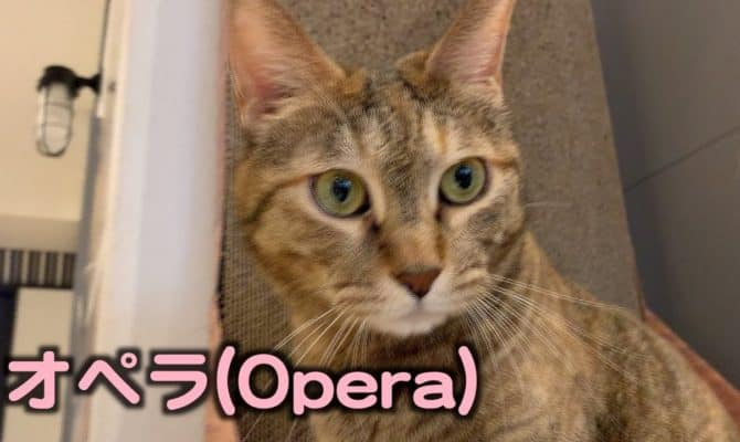 シャイな不器用さん!オペラちゃん