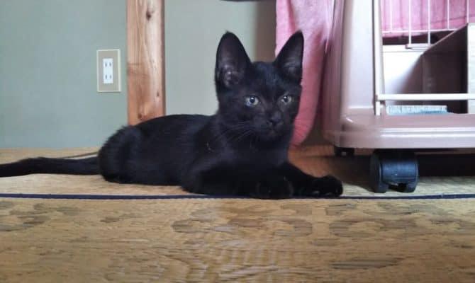 子猫チャンドラー 耳の先がピーン