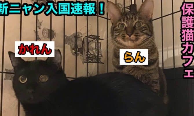 新ニャン入国速報【らん】【かれん】