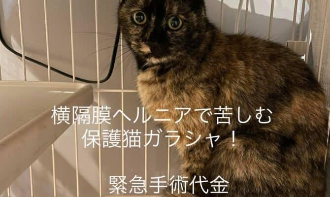 横隔膜ヘルニアの保護猫ガラシャのためにカンパをお願いします!