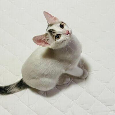 ぽっちゃり猫を目指してます!ロニちゃん(岐阜TNTA部)