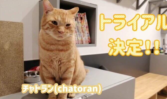 【トライアル決定!】チャトラン【池袋】